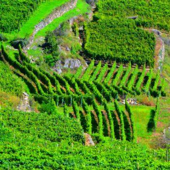 ITALY R&L vineyard photo